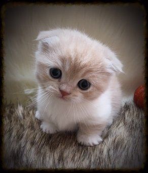Munchkin kittens for sale in colorado